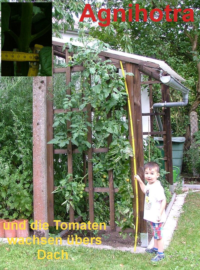 Agnihotra und die Tomaten wachsen übers Dach
